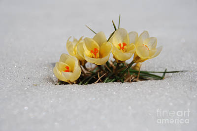 Yellow Crocus In The Snow Poster