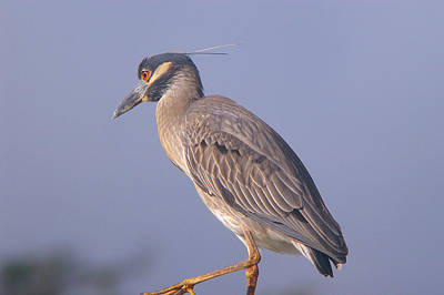 Poster featuring the photograph Yellow Crowned Night Heron by Brian Wright