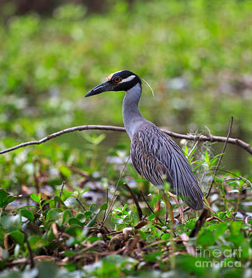 Yellow-crowned Night Heron Poster by Louise Heusinkveld