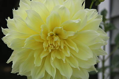 Yellow Dahlia Poster