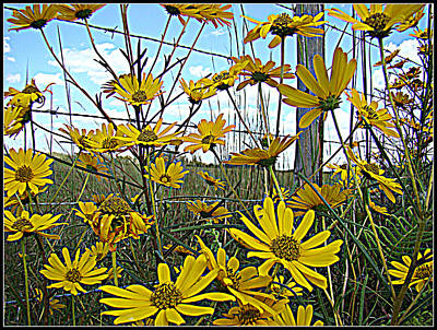 Poster featuring the photograph Yellow Flowers By The Roadside by Alice Gipson