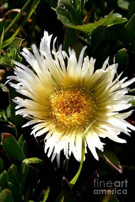 Yellow Ice Plant Flower . Carpobrotus Edulis Succulent . 7d15078 Poster