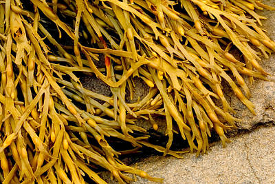 Poster featuring the photograph Yellow Kelp by Brent L Ander