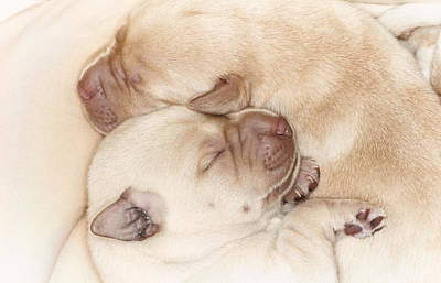 Yellow Labrador Retriever Puppies, Sleeping Poster by Uwe Krejci