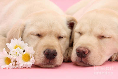 Yellow Labs Sleeping Poster