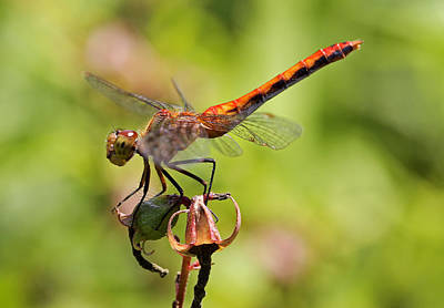 Yellow-legged Meadowhawk  Poster by Juergen Roth
