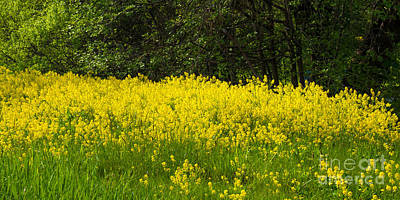 Yellow Meadow Flowers Poster