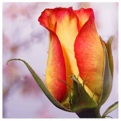 Yellow Orange Rose Poster by Mike McGlothlen