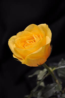 Yellow Rose On Black Background Poster