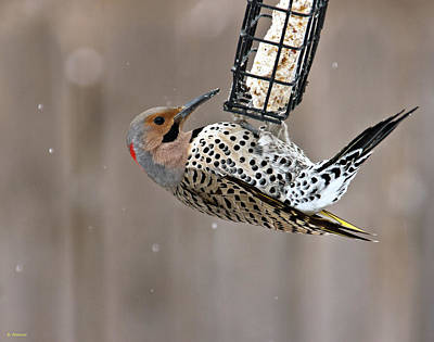 Yellow-shafted Northern Flicker Feeding Poster by Edward Peterson