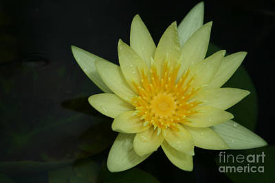 Yellow Waterlily - Nymphaea Mexicana - Hawaii Poster by Sharon Mau