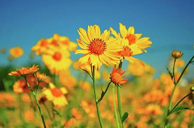 Yellow Wildflowers Poster by Sandy L. Kirkner