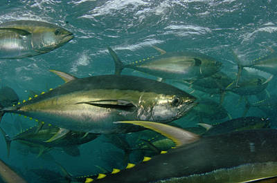Yellowfin Tuna Are Cage-fed To Improve Poster