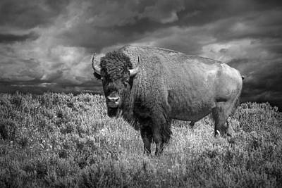 Yellowstone Buffalo Bison In Black And White Poster by Randall Nyhof