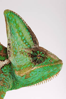 Yemen Chameleon, Close-up Of Head, Side View Poster by Martin Harvey
