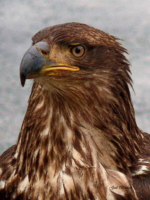 Young Bald Eagle Portrait Poster