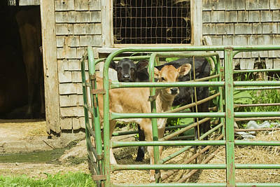 Young Calf In Fence Pen Near Barn Summer Maine Poster by Keith Webber Jr