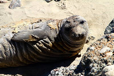 Young Elephant Seal Molting . 7d16091 Poster by Wingsdomain Art and Photography