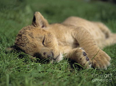 Young Lion Sleeping Poster by Michael Leach and Photo Researchers