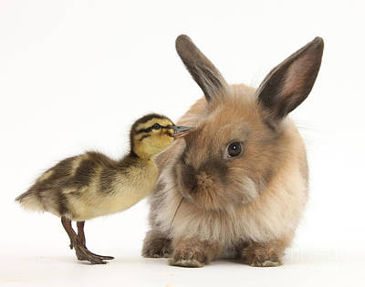 Young Lionhead-lop Rabbit And Mallard Poster by Mark Taylor