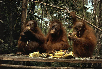 Young Orangutans Eat Together Poster by Rodney Brindamour