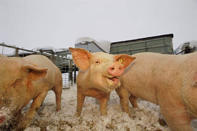 Young Pigs In A Snowy Pen At A Farm Poster by Joel Sartore