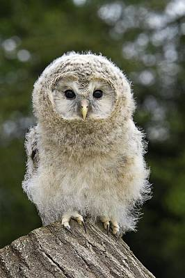 Young Ural Owl Poster by Linda Wright