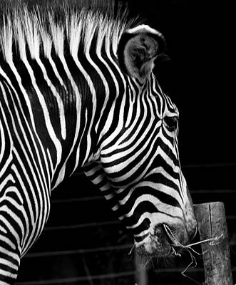 Zebra Poster by Brendan Reals