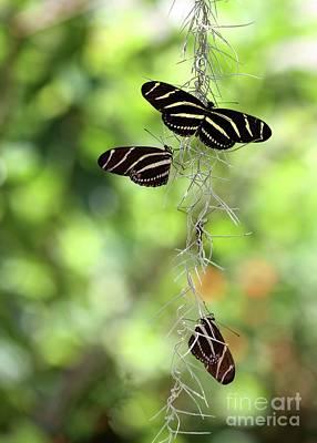 Zebra Butterflies Hanging Out Poster