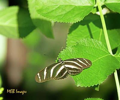 Zebra Butterfly Poster by Margaret Buchanan