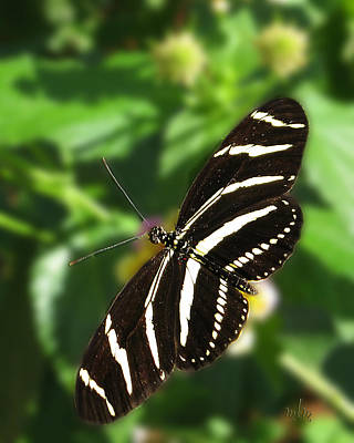 Zebra Heliconian Butterfly 1 Poster