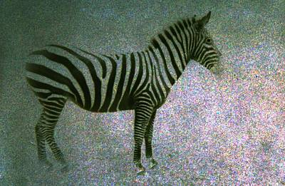 Poster featuring the photograph Zebra by Kelly Hazel