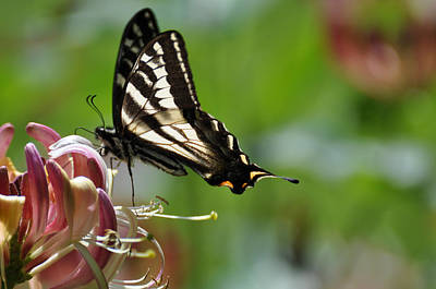 Poster featuring the photograph Zebra Swallowtail Sipping Honeysuckle by Ronda Broatch