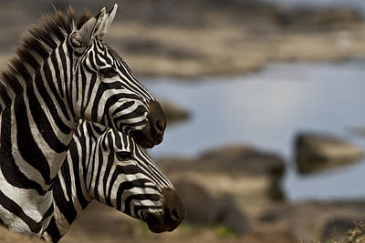 Zebras At Mara River Crossing Poster