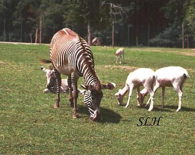 Zebra's Grazing Poster