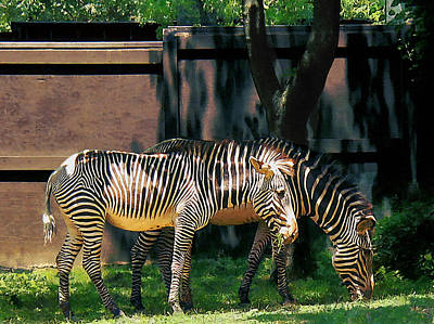 Zebras Having A Snack Poster by Susan Savad
