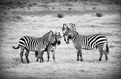 Zebras In Black And White Poster