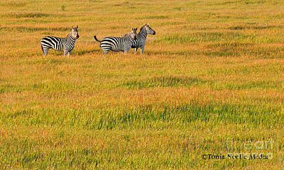 Poster featuring the photograph Zebras by Tonia Noelle