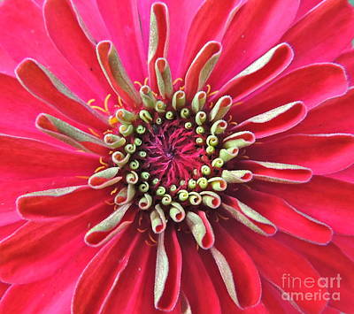 Poster featuring the photograph Zinnia Macro by Eve Spring