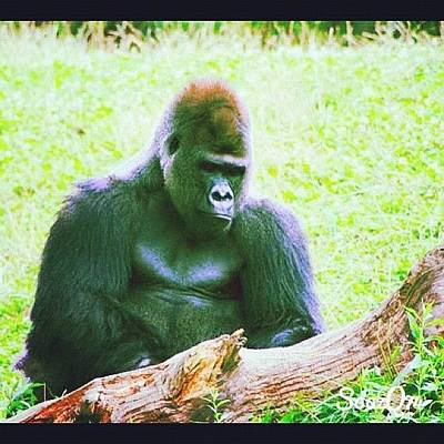 #zoo #wildlife #gorilla #ape #summer Poster