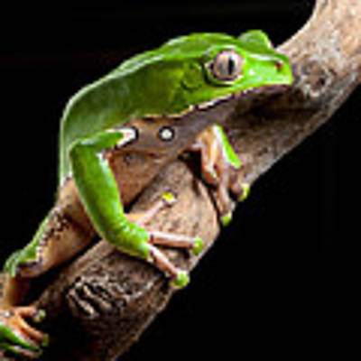 Green Tree Frog Amazon Rain Forest Poster