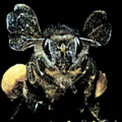 Bee Loaded With Pollen Poster