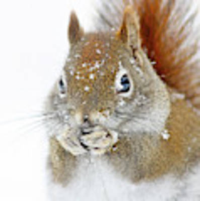 Christmas Squirrel Poster by Mircea Costina