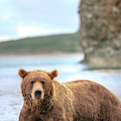 Grizzly Bears Also Called Brown Bears Poster