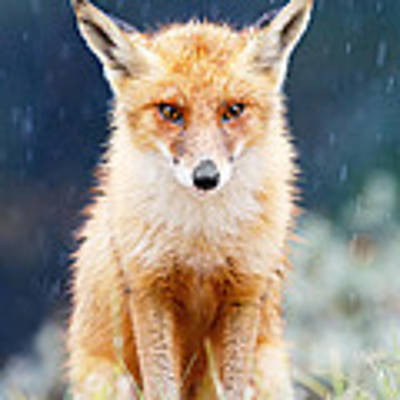 I Can't Stand The Rain  Fox In A Rain Shower Poster