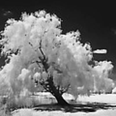 Infrared Willow Tree Study  Poster by Rich Stedman