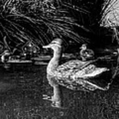 Okc Ducks 002 Poster by Lance Vaughn