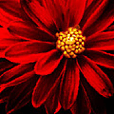 Painterly Dahlia Flower Poster by Meirion Matthias