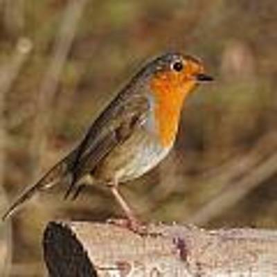 Robin On A Log -2 Poster by Paul Gulliver