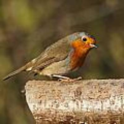 Robin On A Log Poster by Paul Gulliver
